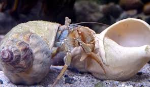 Do Hermit Crabs Shed Shell by Pagurus Bernhardus Hermit Crabs Change Their Shells The Kid