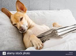 hund im bett ruhen und schlafen mit zeitungspapier träumen