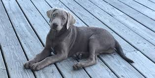 Chesapeake Bay Retriever Vs Lab Shedding by Silver Labs The Facts About Silver Labrador Retrievers