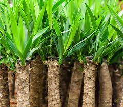 yucca palme pflege vermehren schneiden überblick