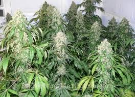 Northern Lights Strain Review I Love Growing Marijuana