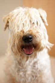 Do Wheaten Terrier Puppies Shed by 532 Best Irish Soft Coated Wheaten Terrier Images On Pinterest