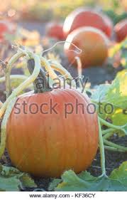 Pumpkin Patch Medford Oregon by Family On A Farm In Autumn Kids Feed Horse Outdoor Fun Children