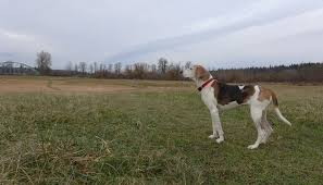 Do Treeing Walker Coonhounds Shed by Treeing Walker Coonhound Dog Breed Information Pictures U0026 Advice