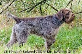 Griffon German Wirehaired Pointer Shedding by Wirehaired Pointing Griffon Breed Information And Pictures On