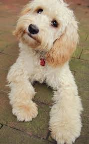 Do Cavapoos Shed A Lot by Cavoodle More Sweet Poodle Mixed Happy Puppys Doodles Dogs