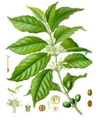 Coffee Plant Clipart Plantation