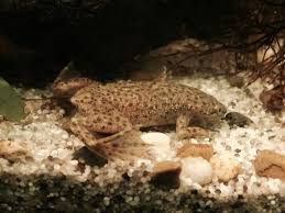 Should African Dwarf Frogs Shed by African Dwarf Frog Bloat And Dropsy Pet Frog Diseases