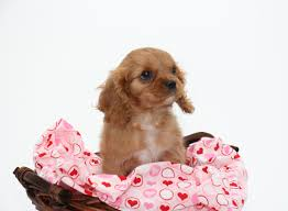 Non Shedding Dog Breeds Kid Friendly by Kid Friendly Dog Breeds U2013 Small Pups For Your Family