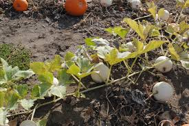 Pumpkin Patch Medford Oregon by What To Do In Southern Oregon Seven Oaks Farm Pumpkin Patch With