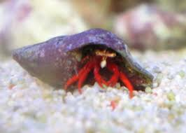 Do Hermit Crabs Shed Their Whole Body by Shirley Aquatics Red Leg Hermit Crabs Med X 5