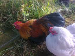 Backyard Chickens Uk - 28 Images - Silkies Backyard Chicken Breeds ... 14 Best Chicken Breeds Images On Pinterest Grandpas Feeders Automatic Feeder Standard 20lb Feed Backyard Chickens Norfolk Va 28 Run Selling Eggs From Uk My Marans Red Pyle Brahmas And Other Colours Backyard Chickens Page 53 Of 58 Backyard Ideas 2018 Derbyshire Redcaps Uk Cleaning Stock Photos Images Quietest Breeds Uk With Quiet Coop How To Keep Your Hens Laying All Winter Long Top 5 Tips A Newbie The