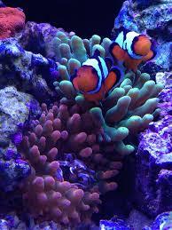 Halloween Hermit Crab by Hawaii Joe U0027s Elos 100 Build Reef2reef Saltwater And Reef