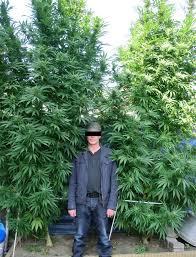 avant que la culture de cannabis commence graines de