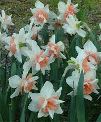 narcissus princess narcissi narcissi flower