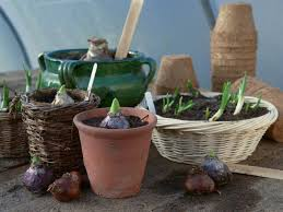 how to save and replant forced seasonal bulbs hgtv