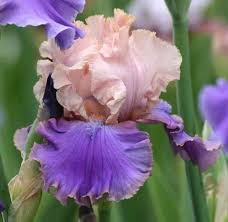 5 exciting new reblooming bearded iris for fall 2017 easy to