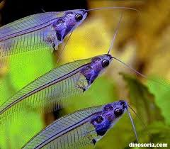 poisson eau douce aquarium tropical silure de verre kryptopterus bicirrhis en images dinosoria