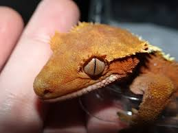 Crested Gecko Shedding Signs by Dehydrated Crested Gecko Reptile Forums