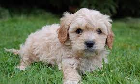 5 best dog breeds for families kidspot
