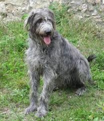 Irish Wolfhound Non Shedding by Irish Wolfhound Temperament Names Rescue Adoption