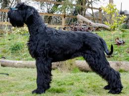 Non Shedding Dog Breeds Big by The Giant Schnauzer Facts Characteristics Information And