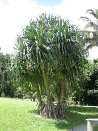 100 Bali Garden Ideas UrbanLandscaping Plants Native Of Hawaii Hawaiian
