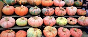 Southern Ohio Pumpkin Patches by The Pumpkins Are Plentiful At Sweetapple Farm Ohio Find It Here