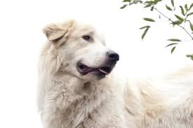 are great pyrenees good family dogs dog care the daily puppy