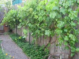 Outdoor Backyard With Grapes And Ground Cover Plants - Growing ... Small Plot Intensive Gardening Tomahawk Permaculture Backyard Vineyard Winery Grapes In Your Own Backyard Lifestyle Bucks County Courier More About The Regent Winegrape Growing Your Grimms Gardens Trellis With In The Yard At Home How To Grow Grapes Steemit Seedless Stark Bros Grape Orchards Pinterest Orchards Seattle Wa Youtube Grown Grape Vine And Trellis Stock Photo Royalty First Years Goal