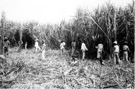 A Group Of Labourers Harvesting Sugar Cane