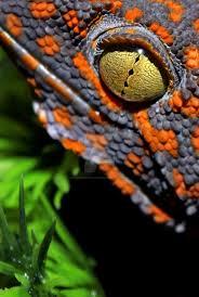 Crested Gecko Halloween Morph For Sale Uk by 87 Best Geckos Images On Pinterest Lizards Amphibians And Geckos