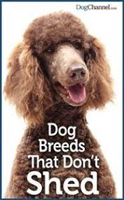 No Shed Small Dogs by The 25 Best Non Shedding Dogs Ideas On Pinterest Non Shedding