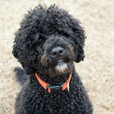 Portuguese Water Dog Non Shedding by 8 Curly Coated Dog Breeds Pawculture