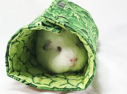 31 best guinea pig images on pinterest guinea pigs pig stuff
