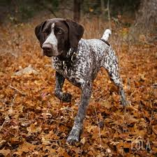 The German Pointer This Highly Trainable Breed Is An Ideal Working Dog Or Family Pet They Are A Manageable Size And So Cute To Look At