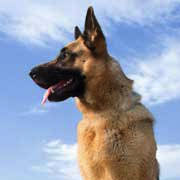 Shedding Blade German Shepherd by Grooming The Gsd German Shepherd Grooming Tips And Secrets