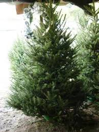 Balsam Christmas Tree Care by Retail Tree Care Simple Steps To Keeping Christmas Trees Fresh