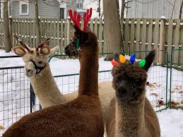 100 Buffalo Craigslist Cars And Trucks By Owner These Alpacas Probably Have A Busier Social Life Than You Do The