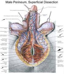 Muscles Of The Pelvic Floor Male male pelvic floor muscle male pelvic pain pinterest pelvic