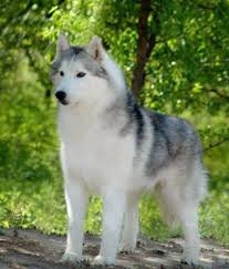 best 25 siberian husky facts ideas on pinterest siberian husky