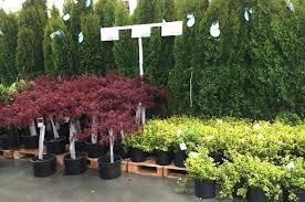 Costco Trees For Sale Greenery Nursery Christmas Price