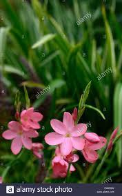 hesperantha schizostylis coccinea pink flower flowers