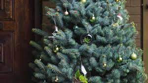 Silvertip Fir Christmas Tree by How To Care For A Living Christmas Tree Sunset