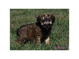 Do Wheaten Terrier Puppies Shed by Soft Coated Wheaten Terrier Puppies Petland Carriage Place