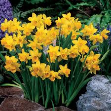 t罨te 罌 t罨te daffodil bulbs groworganic
