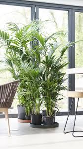 kentia palme kentia palme palmen zimmerpflanzen ideen