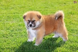 japanese akita inu dog breed information buying advice photos