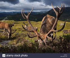 100 Gamekeepers The Deer Population At Reraig Forest Are Fed By Gamekeepers To Spur