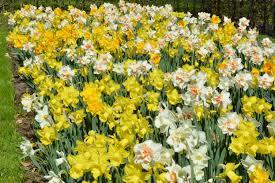 daffodil naturalizing mix dutchgrown